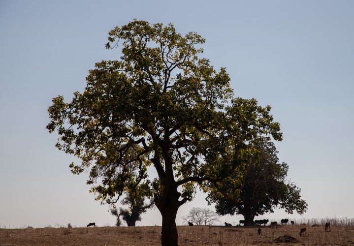 Under the majestic Mahua Tree